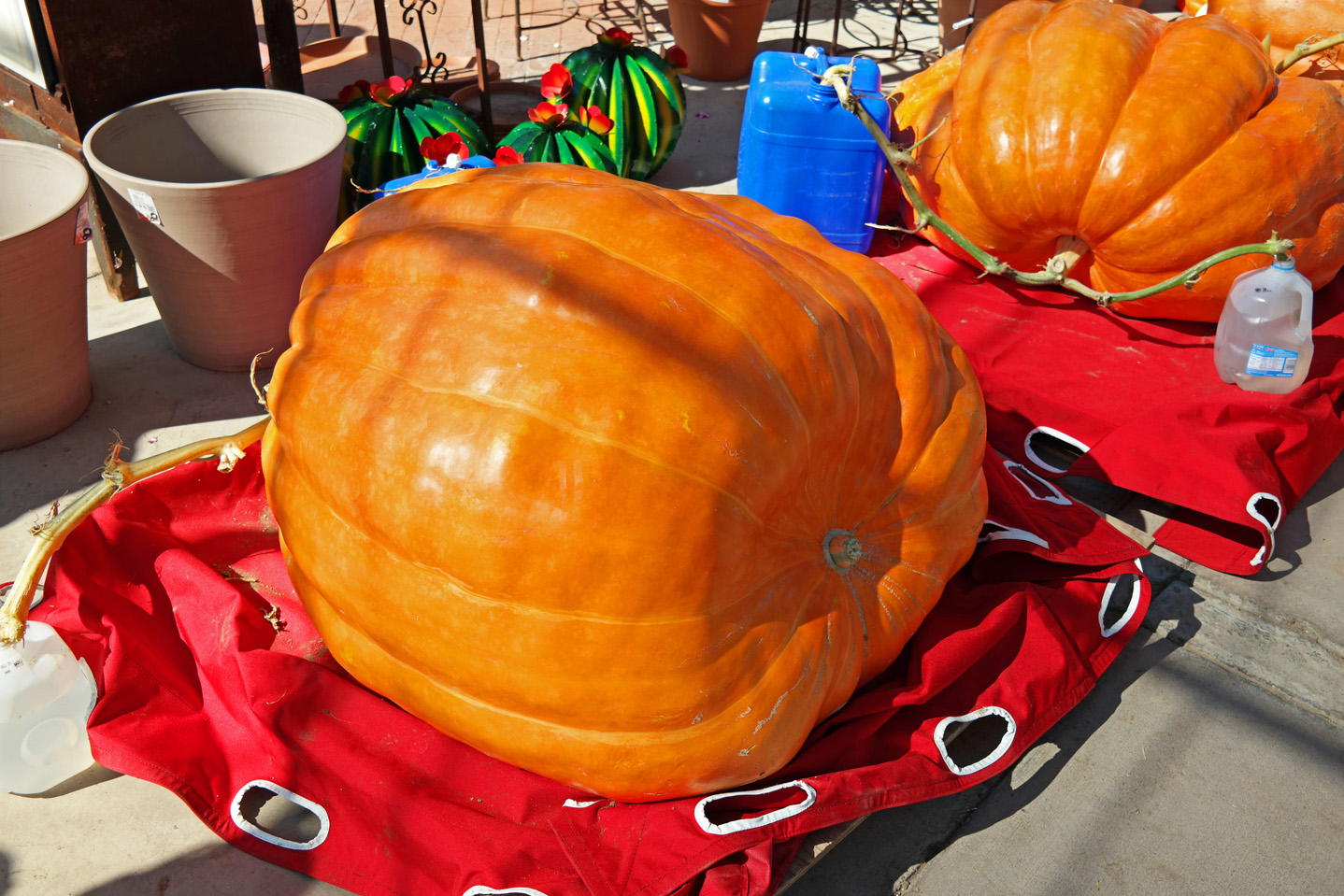 Arizona's Giant Pumpkins - 410 pounds!